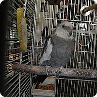 Adopt A Pet :: Tweety - Neenah, WI