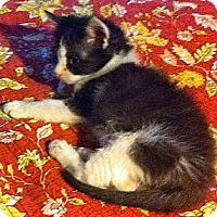 Adopt A Pet :: Tiny Tia Maria - Crane Hill, AL
