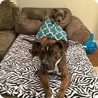 Adopt A Pet :: Gilbert - Norwalk, CT