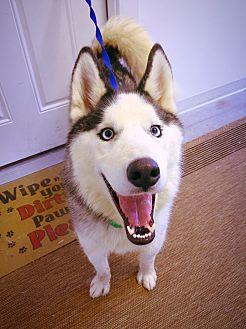 Siberian Husky Dog for adoption in Sycamore, Illinois - Roadie