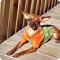 Adopt A Pet :: Tootsie - phoenix, AZ