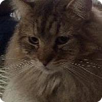 Domestic Longhair Cat for adoption in Odessa, Texas - Redd