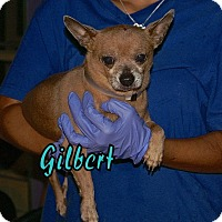 Chihuahua Dog for adoption in Englewood, Florida - Gilbert
