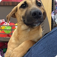 Adopt A Pet :: Riley-Barton Pup #4 - Olive Branch, MS