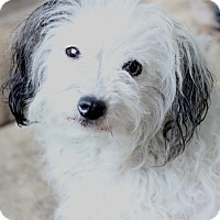 Adopt A Pet :: Lavinia - pending - Norwalk, CT
