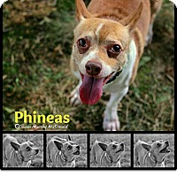 Adopt A Pet :: Phineas - Cumberland, MD