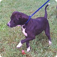 Adopt A Pet :: Calvin - Metamora, IN