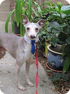 Italian Greyhound Dog for adoption in Chicago, Illinois - Nigel