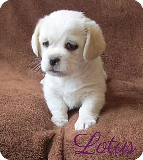 Pekingese/Beagle Mix Puppy for adoption in House Springs, Missouri - Lotus