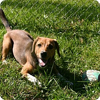 Beagle Mix Puppy for adoption in Waldorf, Maryland - Lyla