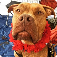 Dogue de Bordeaux/American Pit Bull Terrier Mix Dog for adoption in Richmond, California - Axel