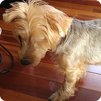 Yorkie, Yorkshire Terrier Mix Dog for adoption in Tijeras, New Mexico - Isabelle