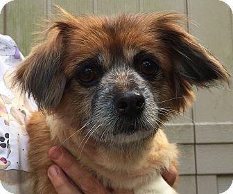 Pekingese/Jack Russell Terrier Mix Dog for adoption in Orlando, Florida - Wasabi
