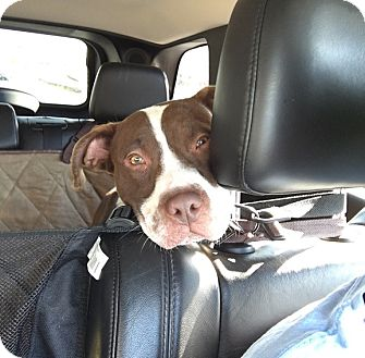 Pit Bull Terrier/Hound (Unknown Type) Mix Dog for adoption in Rockaway, New Jersey - Thumper