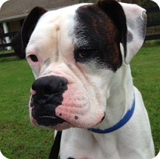 Boxer Dog for adoption in Wilmington, North Carolina - Vinny