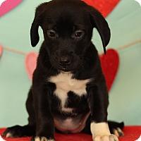 Adopt A Pet :: Desiree - Waldorf, MD