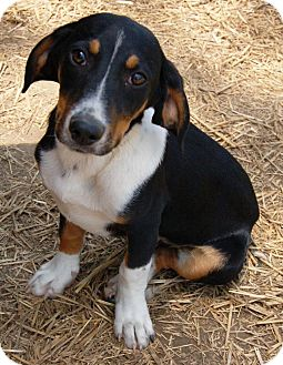 Louey Pup | Adopted Puppy | AE | Windham, NH | Beagle ...