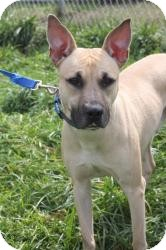 Shepherd (Unknown Type)/Boxer Mix Dog for adoption in Dover, Ohio - Zeppelin