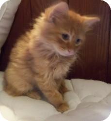 Maine Coon Kitten for adoption in Ennis, Texas - Leandro
