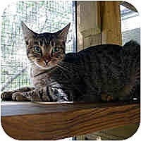 Domestic Shorthair Cat for adoption in Round Rock, Texas - Binky