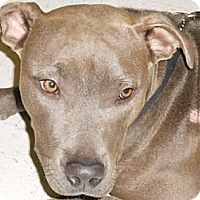 Adopt A Pet :: Lala Blue - Lockhart, TX