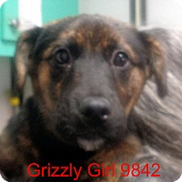 Adopt A Pet :: Grizzly Girl - baltimore, MD