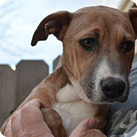 Adopt A Pet :: Chloe - Westminster, CO