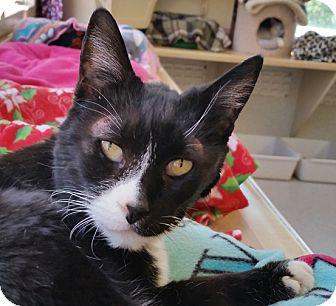 Domestic Shorthair Cat for adoption in Mountain Center, California - Carolina