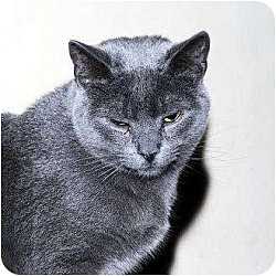 Photo 1 - Domestic Shorthair Cat for adoption in Whitewater, Wisconsin - Dancer