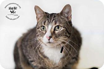 Domestic Shorthair Cat for adoption in Alexandria, Virginia - Pete