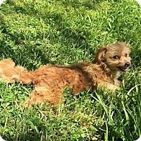 Adopt A Pet :: Poke Salad Annie (RBF) - Spring Valley, NY