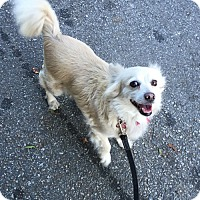Spaniel (Unknown Type)/Spitz (Unknown Type, Small) Mix Dog for adoption in Encino, California - Tiffany