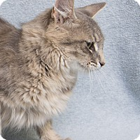Adopt A Pet :: Stripes - Fort Collins, CO