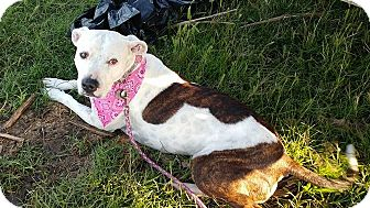 Pit Bull Terrier Mix Dog for adoption in Wichita Falls, Texas - Paige