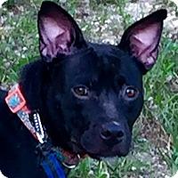 Adopt A Pet :: Layla - Toms River, NJ