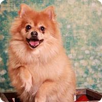 Pomeranian Dog for adoption in Dallas, Texas - Duncan Donut