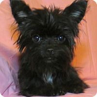 Adopt A Pet :: Sabrina Teacup - Encino, CA