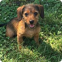 Adopt A Pet :: Huey - New Oxford, PA