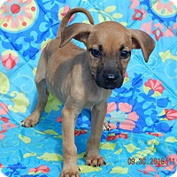 Boxer/Retriever (Unknown Type) Mix Puppy for adoption in West Sand Lake, New York - Tink (6 lb) Video!