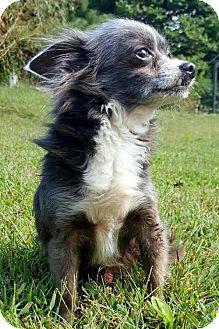 Chihuahua Dog for adoption in Champaign, Illinois - Pedro