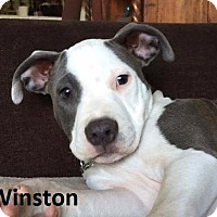 Staffordshire Bull Terrier Mix Puppy for adoption in Lake Forest, California - Winston