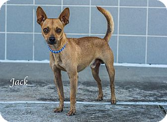 Chihuahua Mix Puppy for adoption in Lancaster, Texas - Jack-URGENT