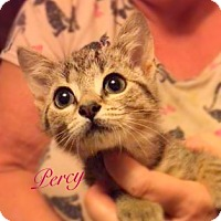 Domestic Shorthair Kitten for adoption in York, Pennsylvania - Percy