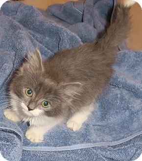 Domestic Longhair Kitten for adoption in Bedford, Virginia - Juniper