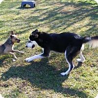 Husky Mix Dog for adoption in New Bern, North Carolina - Doug