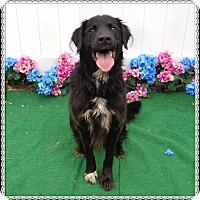 Adopt A Pet :: BRENT - Marietta, GA