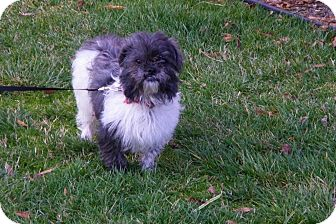 Shih Tzu Mix Dog for adoption in Albany, New York - Jasmine