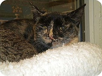 Domestic Shorthair Kitten for adoption in Huntington, New York - Mouse