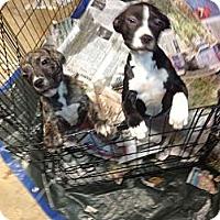 Adopt A Pet :: Mulan - South Jersey, NJ