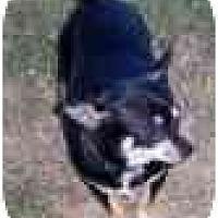 Adopt A Pet :: Sayre - Chesapeake, VA